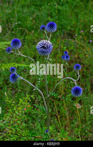 this is Echinops ritro, the Southern globethistle or Globe Thistle, from the family Asteraceae - Stock Photo
