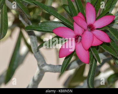 Desert rose adenium obesum, in Pheonix Arizona Stock Photo