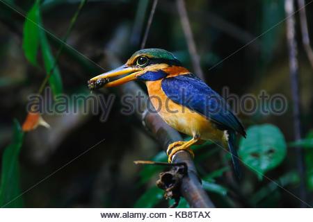 Rufous-collared Kingfisher Actenoides concretus Male Beautiful Birds of Thailand - Stock Photo