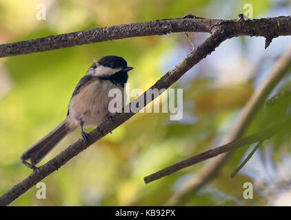 Black capped chickadee perched on branch - Stock Photo