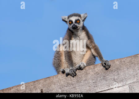Portrait of ring-tailed lemur (Lemur catta) sitting on wooden building, native to Madagascar - Stock Photo