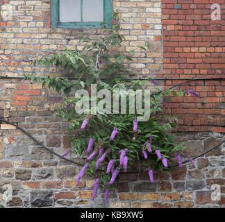 Buddlea growing out of brickwork of former industrial building. Blaenavon, UK - Stock Photo