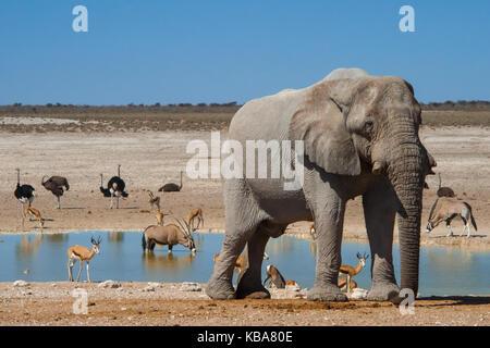 Wildlife congregates at a water hole, Etosha National Park, Namibia - Stock Photo