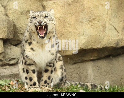 A Snow Leopard snarling in warning. - Stock Photo