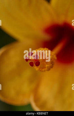 Hibiscus flower blooms with beautiful yellow petals. - Stock Photo