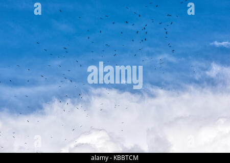 Many black birds flying high in flock group against isolated stormy gray blue large big huge cloud in storm sky - Stock Photo