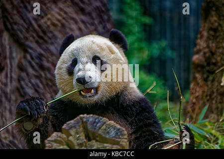 Panda eating bamboo showing face with  blurred background - Stock Photo