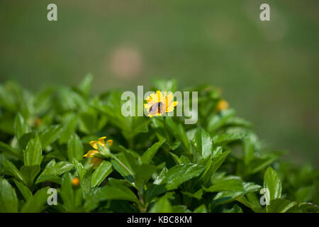 Small bee working getting honey nectar from yellow flower in green field in the morning. - Stock Photo
