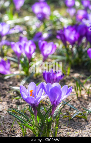 Beautiful color crocuses blooming in spring park in Szczecin - Stock Photo