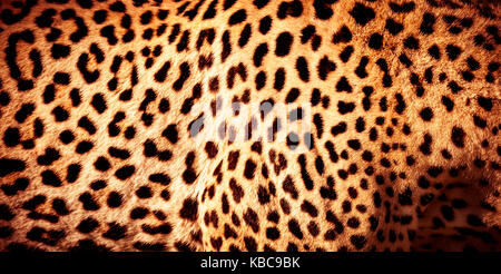 Beautiful leopard skin background, natural orange fur with black spots, wild African animal skin pattern - Stock Photo