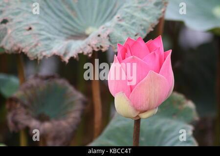 Halb geöffnete Lotosblume mit blatt im Hintergrund - Stock Photo