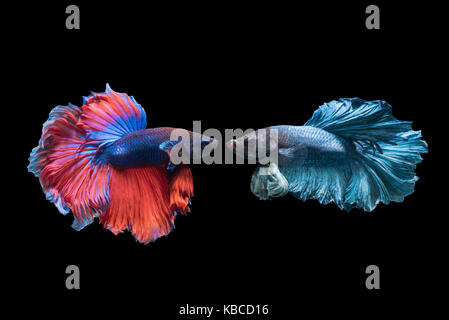 Betta splendens, beautiful red and blue fighting fish isolated on black background, fish fresh water in Thailand - Stock Photo