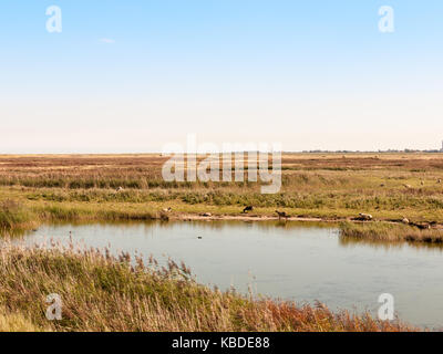 sunny river stream scene nature reserve with sheep gazing in field over water; essex; england; UK - Stock Photo