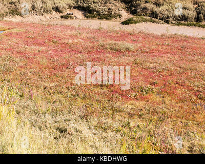 red heather on floor of grass land scene background; essex; england; UK - Stock Photo