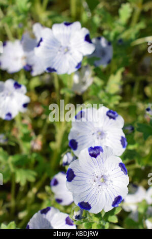 Nemophila maculata, also known as baby blue eyes and fivespot. Bowl-shaped white flowers with purple / blue veins - Stock Photo