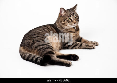 Adult gray lying cat with injury isolated