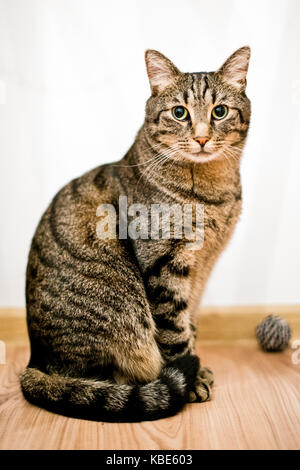 portrait of an adult gray cat on a white background with a toy - Stock Photo