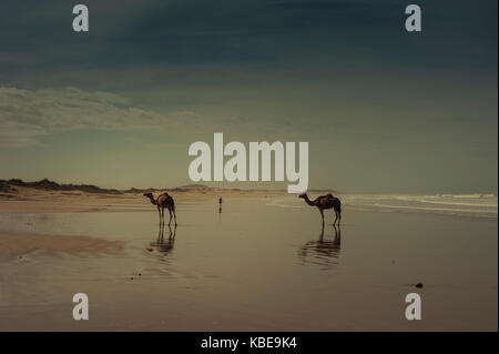 Camels on the beach at Essaouira, Morocco - Stock Photo