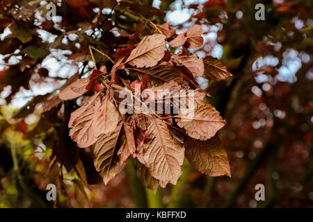 North London, UK. 30th Sep, 2017. Autumnal colours in a north London park. Credit: Dinendra Haria/Alamy Live News - Stock Photo