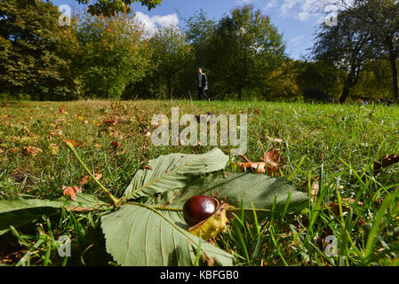 Green Park, London, UK. 30th Sep, 2017. Autumn, conkers start to fall from the Horse Chestnut trees. Credit: Matthew - Stock Photo