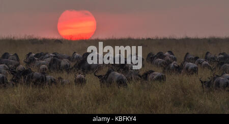 Wildebeest meander into the sunset after successfully crossing the Nile River during the wildebeest migration, Masai - Stock Photo