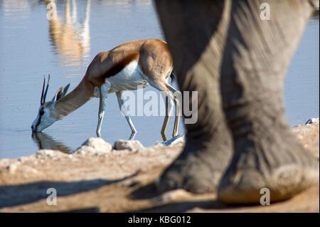 Springbok drinking at Okaukuejo waterhole with a elephant nearby, Etosha, Namíbia - Stock Photo