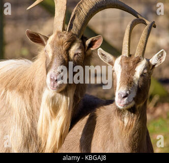 Color outdoor portrait of couple of two goats watching in the same direction, taken in bright sunshine - Stock Photo