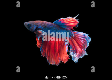 Betta splendens, beautiful fighting fish isolated on black background, fish fresh water in Thailand - Stock Photo