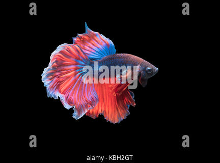 Betta splendens, beautiful fighting fish isolated on black background, fish fresh water in Thailand - Stock Photo