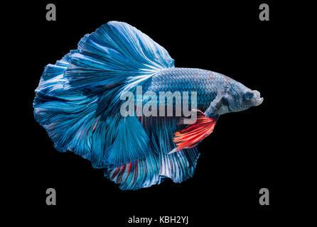 blue siamese fighting fish, betta splendens isolated on black background - Stock Photo