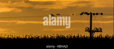 Roosting birds on telegraph cable - Stock Photo