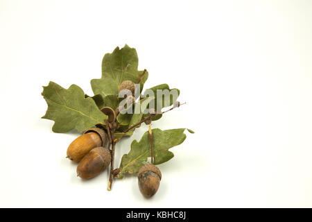 Dry green oak leaves and three acorns in a natural autumn composition isolated on a white background. Horizontal - Stock Photo
