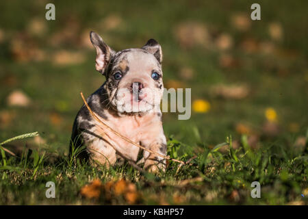 Horizontal photo of a merle colored English bulldog puppy with bright blue eyes running in the green grass towards - Stock Photo