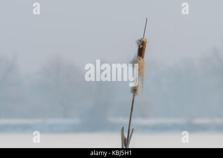 Broadleaf cattail flower, bulrush in the snow in winter, Typha latifolia on frozen lake - Stock Photo