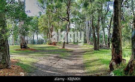 Hill top nature walk amongst Australian Gum trees with delicate sunlight falling on the green grass bordering the - Stock Photo