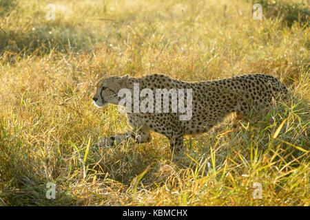 Cheetah (Acinonyx jubatus) walking in grass with backlight, Kruger National Park, Mpumalanga, South Africa - Stock Photo