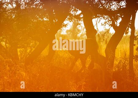 Cheetah (Acinonyx jubatus) in a tree at sunrise, Kruger National Park, Mpumalanga, South Africa - Stock Photo