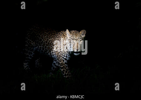 African Leopard (Panthera pardus) standing in the dark, illuminated on the head, looking at camera, Masai Mara national - Stock Photo