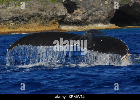Humpback whale (Megaptera novaeangliae), with flukes raised above water surface. Niue Island, Polynesia, South Pacific - Stock Photo