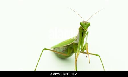 Praying mantis Praying mantis - Stock Photo
