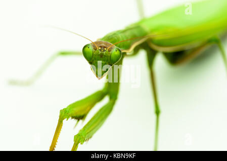 Praying mantis Praying mantis - Stock Photo