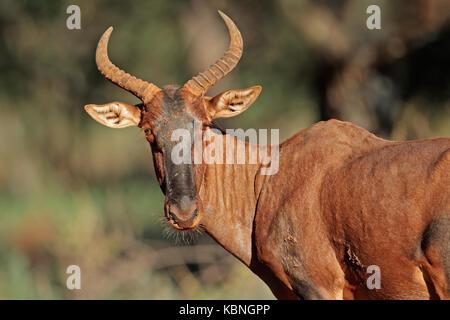 Portrait of a rare tsessebe antelope (Damaliscus lunatus, South Africa - Stock Photo