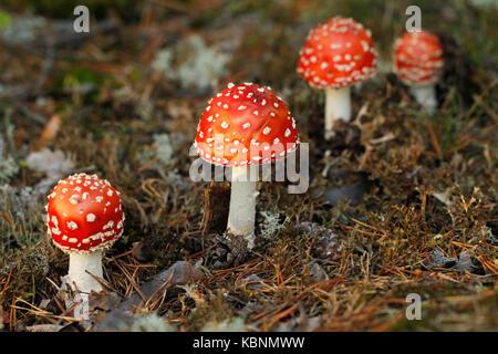 Punakärpässieni, Amanita muscaria. |||Red fly agaric mushroom, Amanita muscaria. - Stock Photo