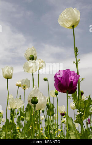 Opium poppies known as Papaver Somniferum in Latin, Turkey. - Stock Photo