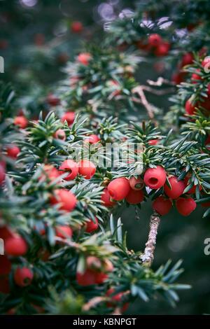 Yew Berries in winter close up - Stock Photo