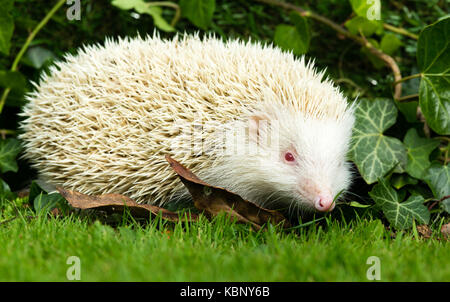 Hedgehog, (Erinaceus Europaeus) wild, native, European true Albino Hedgehog with white spines, pink eyes, ears and - Stock Photo
