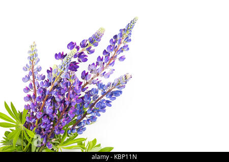 Bouquet of lupines on white background. - Stock Photo