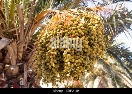 Close up dates growing date palm tree 'Phoenix dactylifera', Lanzarote, Canary Islands, Spain - Stock Photo