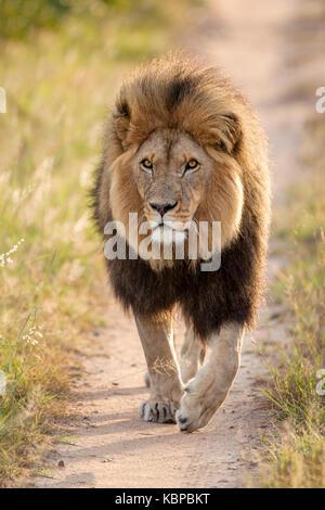 huge male lion walking on sand road towards photographer in Zimbabwe - Stock Photo