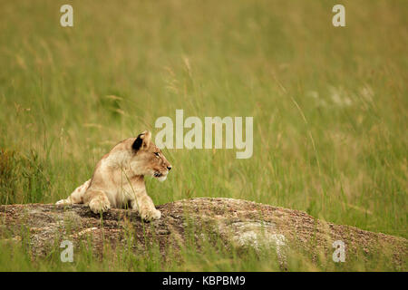 young female lion lying on a rock in tall grass in zimbabwe - Stock Photo